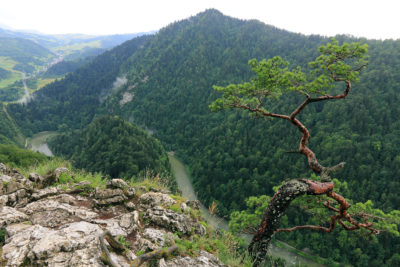 Sokolica,  most famous tree in Pieniny Mountains, Poland